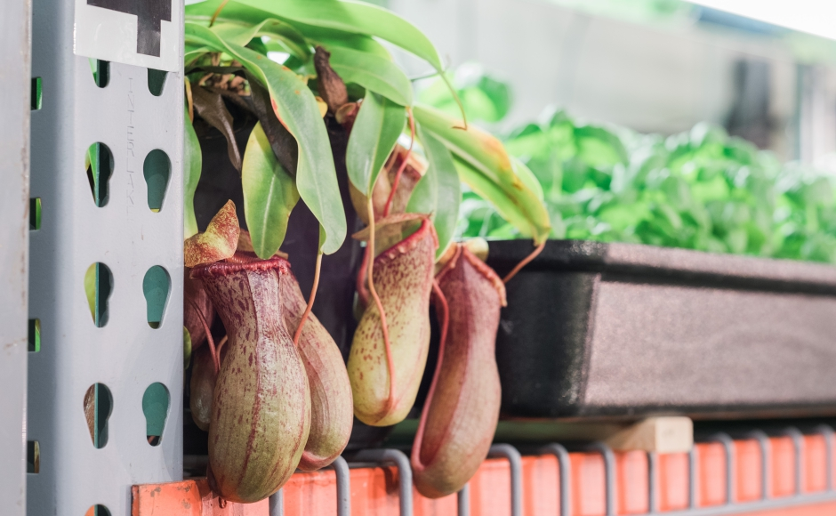 Insectivorous plants keep the produce free of pests without chemical sprays. Credit: Tricia Burrough