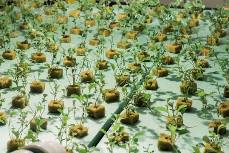 Sprouts are grown floating in an aqueous solution. Credit: Tricia Burrough