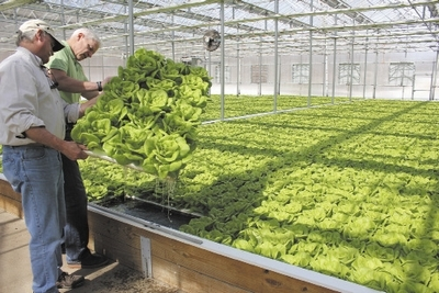 PHOTO | STEVE JENSEN  Cheshire-based Maple Lane Farms II co-owners Allyn Brown (left) and Brant Smith inspect a foam float holding heads of hydroponically grown bibb lettuce nearly ready for market.