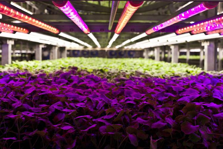 Plants at AeroFarms receive light of a specific spectrum