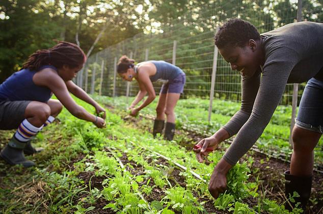 Participants in Black Latinx Farmers Immersion harvest cilantro at Soul Fire Farm.  Capers Rumph (circa 2014)
