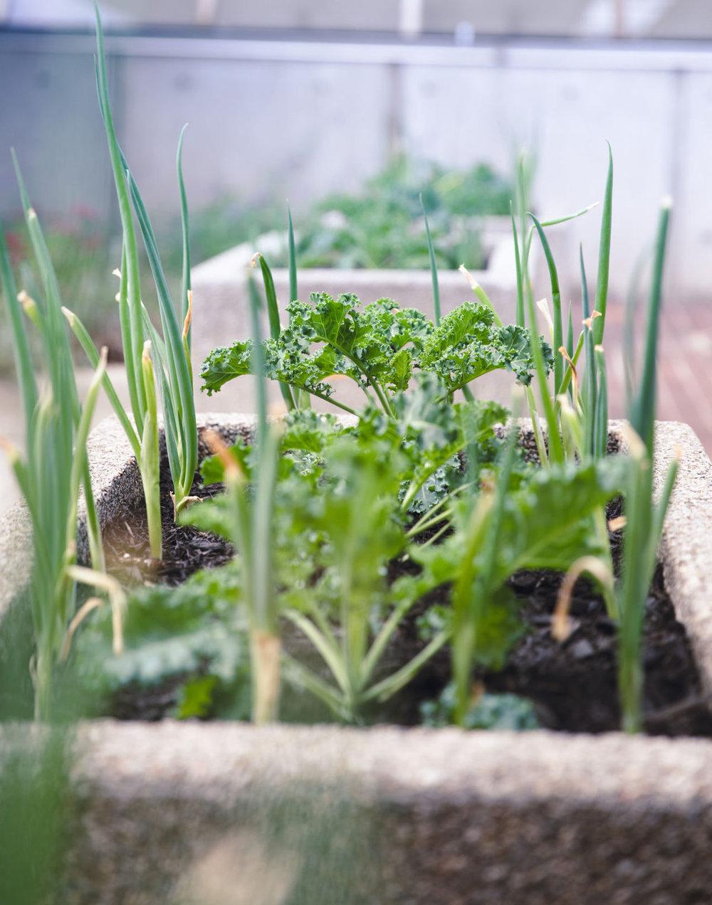 Kale grows in Enviro Western's outdoor food garden, photographed on Sept. 6, 2017.