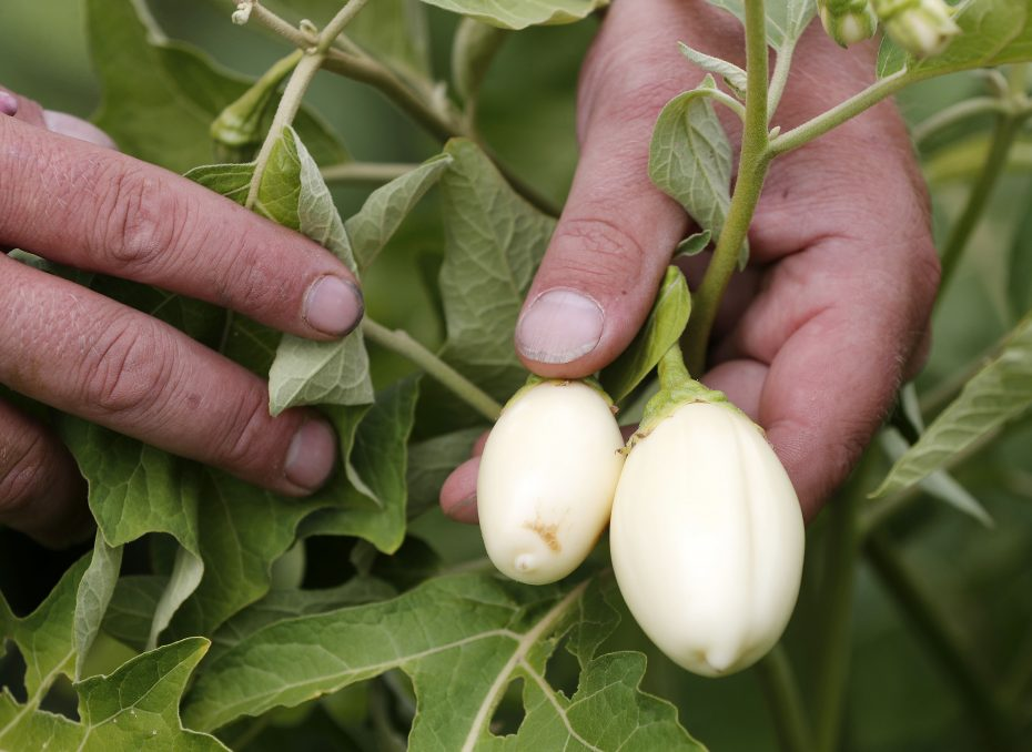"""Garden Egg"" eggplant is among the immigrant-favored crops grown at 5 Loaves Farm on the West Side. (Mark Mulville/Buffalo News)"