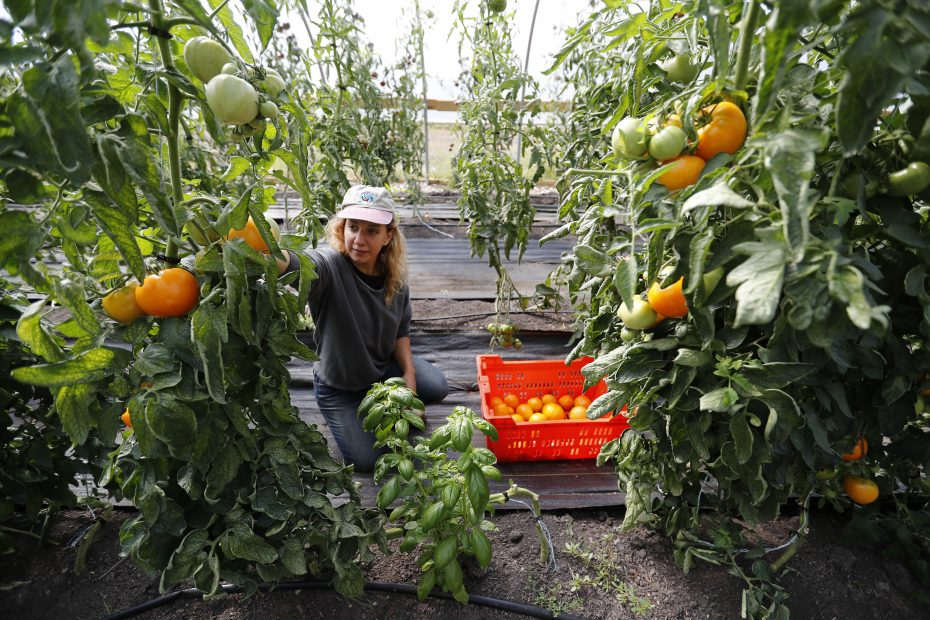 Mayda Pozantides says the Groundwork Market Garden wind tunnel, along Genesee Street, has produced 300 to 500 pounds of tomatoes weekly in recent weeks. (Mark Mulville/Buffalo News)