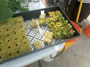 Seedlings that were germinated in rockwool,a soilless growing medium, will be transplanted into the towers where water and liquid nutrients circulate feeding the plant as it grows.