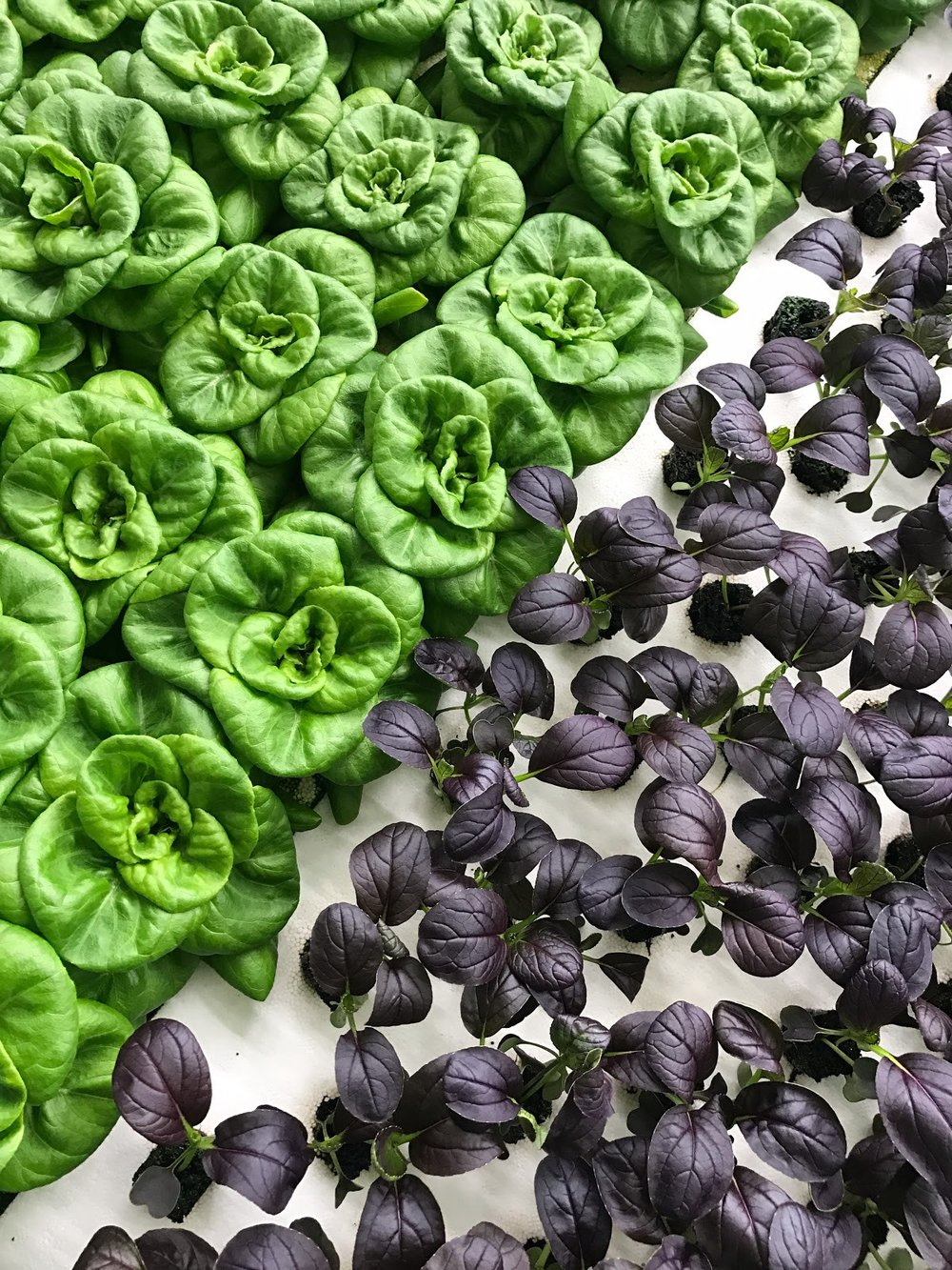 Bowery Butterhead and lettuce growing in a hydroponic system.