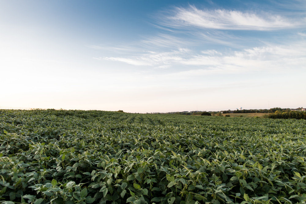 Soybeans growing in a field outside Lincoln, Nebraska, one of many crops whose nutrient content is shifting as a result of rising carbon dioxide levels. | Geoff Johnson for POLITICO