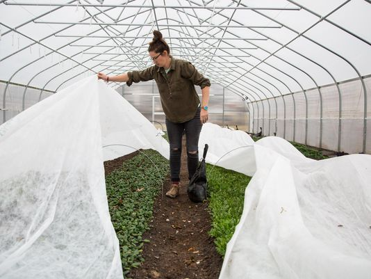 Jenny Quiner, owner of Dogpatch Urban Gardens uncovers lettuce plants in her greenhouse Monday, Dec. 11, 2017. (Photo: Zach Boyden-Holmes/The Register)