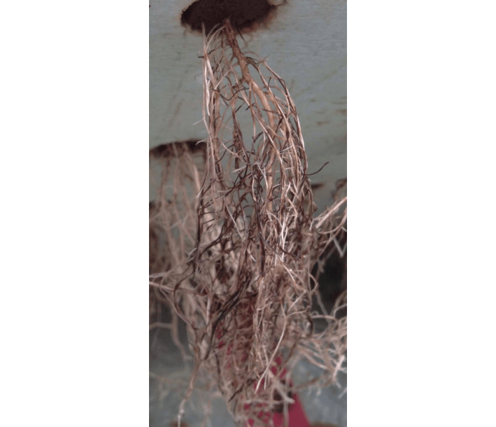 Figure 1. Roots from basil growing in hydroponic rafts (deep water culture) exhibiting root discoloration from Pythium root rot. Photo: Neil Mattson, Cornell University