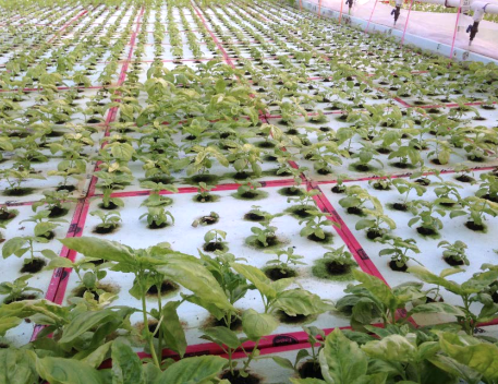 Figure 6. Hydroponic basil showing varying degrees of plant stunting and chlorosis due to infection from Pythium root. Photo: Neil Mattson, Cornell University