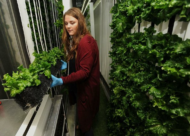 PHOTO BY  ANDY SHUPE   Taylor Pruitt, a sophomore from Bergman in Boone County, helps harvest leaf lettuce Thursday at the University of Arkansas at Fayetteville. A shipping container on campus has been converted into a hydroponic growing station.