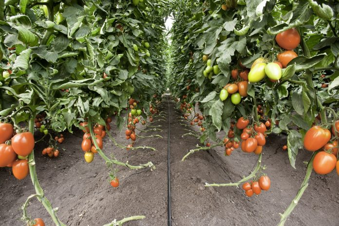 Drip irrigation in tomato cultivation | MASHAV, Israel embassy in India