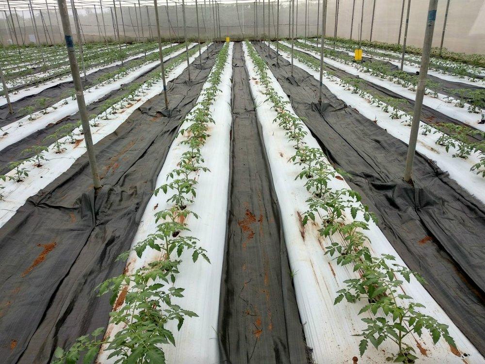 Mulching in tomato cultivation under polyhouse, Dindigul, Tamil Nadu
