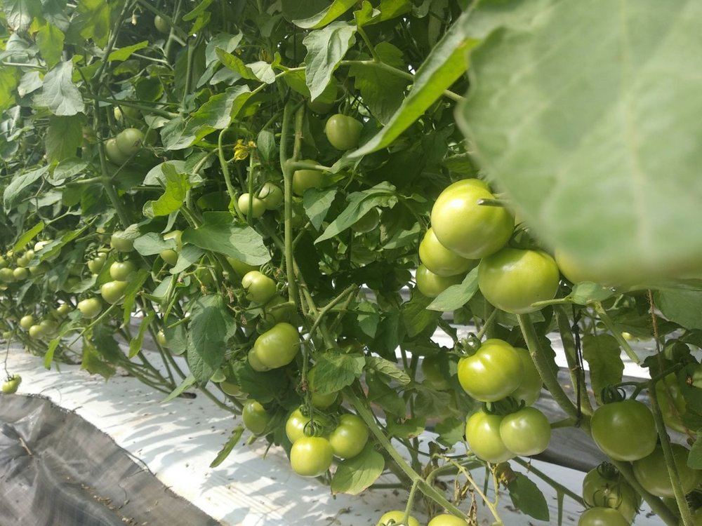 Tomato cultivation in polyhouse, Dindigul, Tamil Nadu