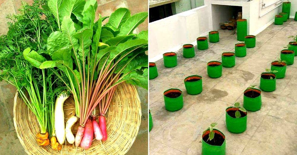 At the Indra Terrace Garden, growing any vegetable requires considerable care and effort. Image Courtesy: Indra Terrace Garden