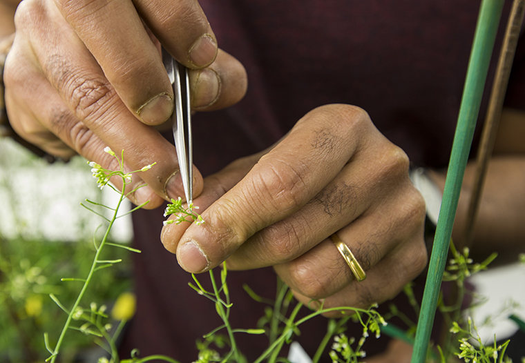 Postdoctoral fellow Anindya Ganguly hand-pollinates Arabidopsis plants. (Photo: Joe Angeles/Washington University)