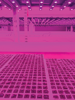 Fig. 1A . Hydroponic seedling production in a commercial vertical farm Photo: Roberto Lopez and Murat Kacira