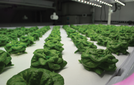 Fig. 1B . Lettuce production at the University of Arizona Controlled Environment Agriculture Center Urban Agriculture Vertical Farm Research, Teaching and Outreach Facility Photo: Roberto Lopez and Murat Kacira