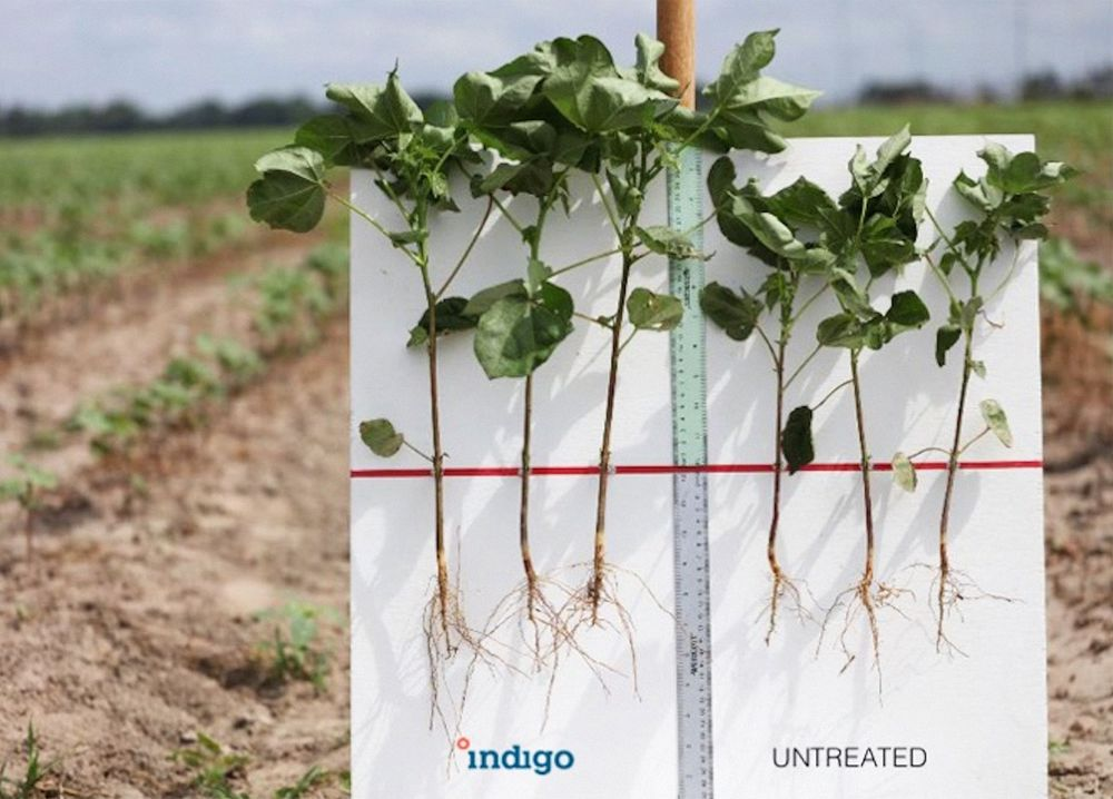 Indigo's microbe coatings have boosted cotton yields by an average of 14 percent in commercial trials in Texas.                          SOURCE: INDIGO AG