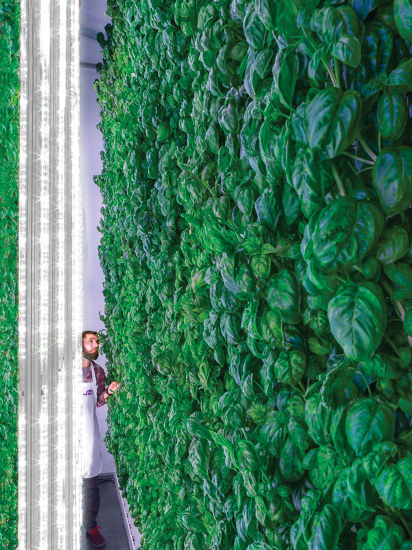 Photo: Plenty Unlimited   Wall of Plenty: A wall of basil is bathed in light from LED tubes, which are optimized for this particular crop by Plenty Unlimited's proprietary machine-learning algorithms.