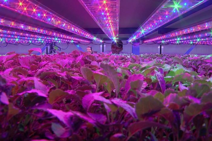 PHOTO:  John Leslie checks the crop inside a climate cell at the Vertical Farms System warehouse facility at Yandina. (ABC Landline)