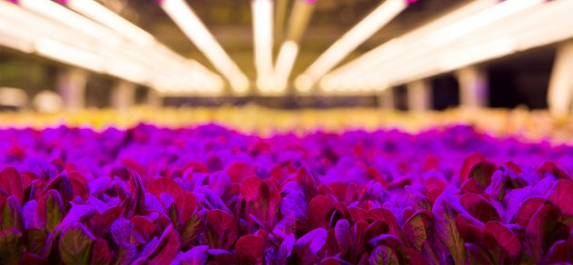 AeroFarms uses LED lighting to create a light recipe for each plant.CREDIT: Ellise Verheyen