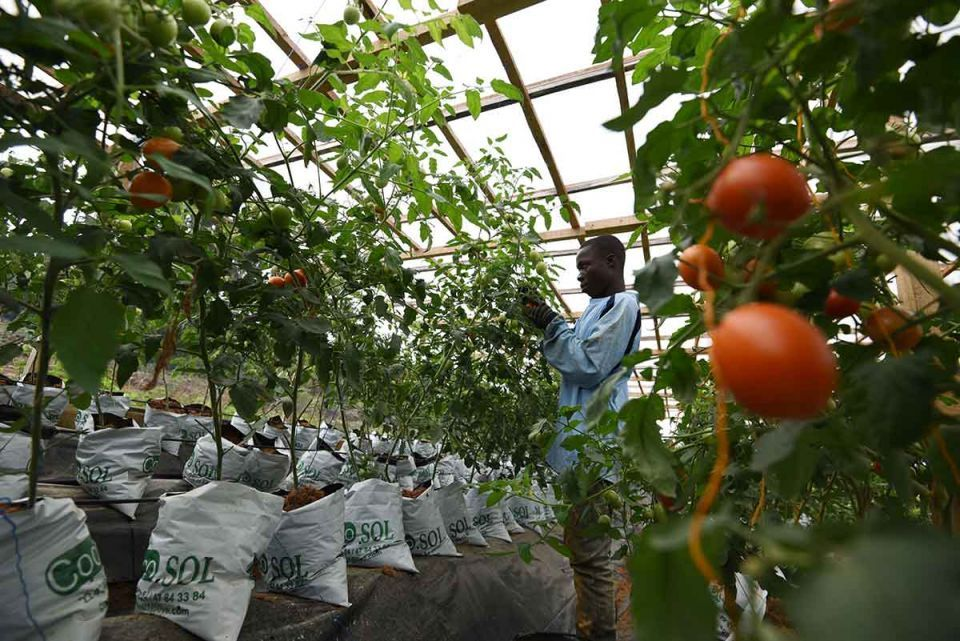 A man works in a hydroponic tomatoes farm. Hydroponics were developed over the ages around the world as an alternative growing system in which plants require a nutrient solution and no soil. (Photo: SIA KAMBOU/AFP/Getty Images)