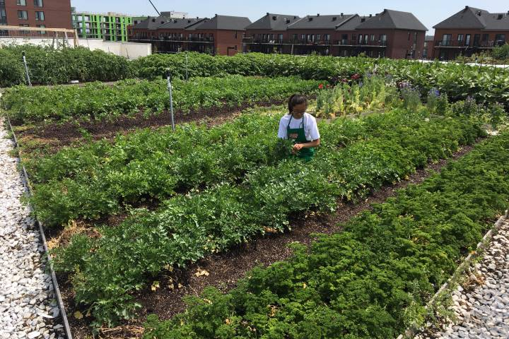 A worker harvests produce from a rooftop garden of an IGA supermarket in the Montreal borough of Saint-Laurent.  Phil Carpenter/Global News