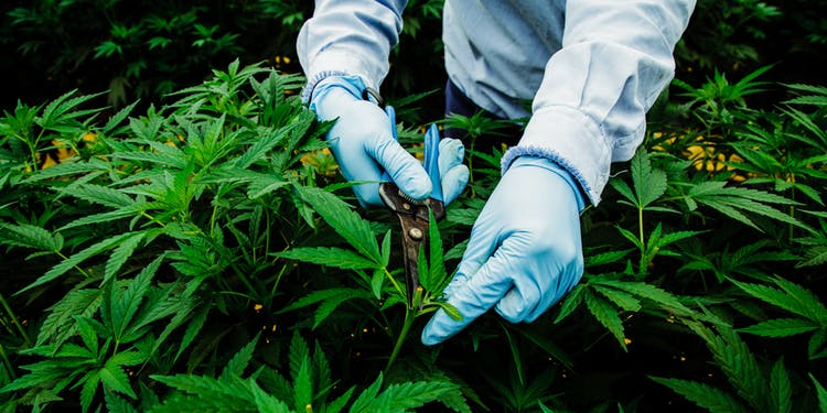 Pharmacielo-could-become-a-leader-in-the-global-medical-cannabis-market-10.jpg