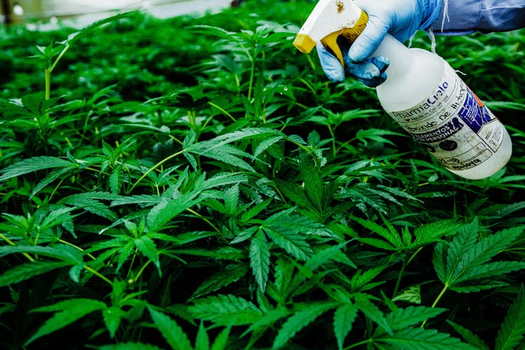 Pharmacielo-could-become-a-leader-in-the-global-medical-cannabis-market-13.jpg