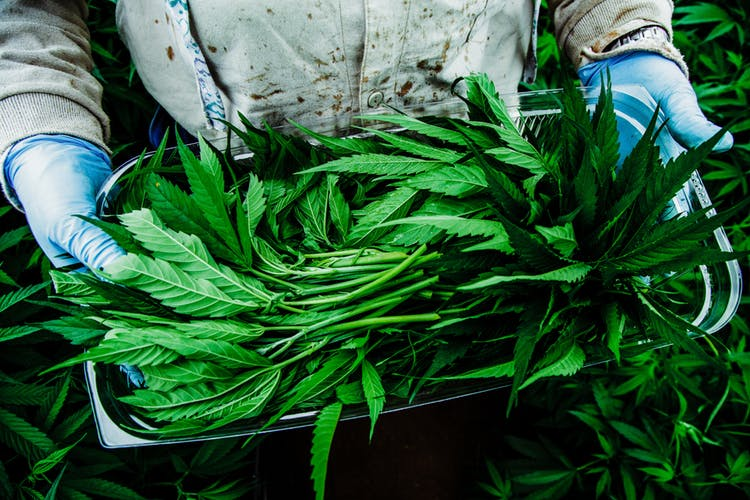 Pharmacielo-could-become-a-leader-in-the-global-medical-cannabis-market-16.jpg