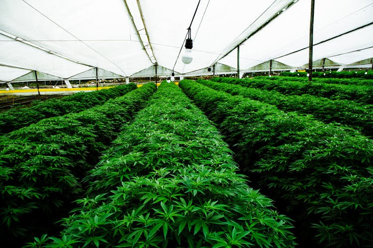 Pharmacielo-could-become-a-leader-in-the-global-medical-cannabis-market-6.jpg