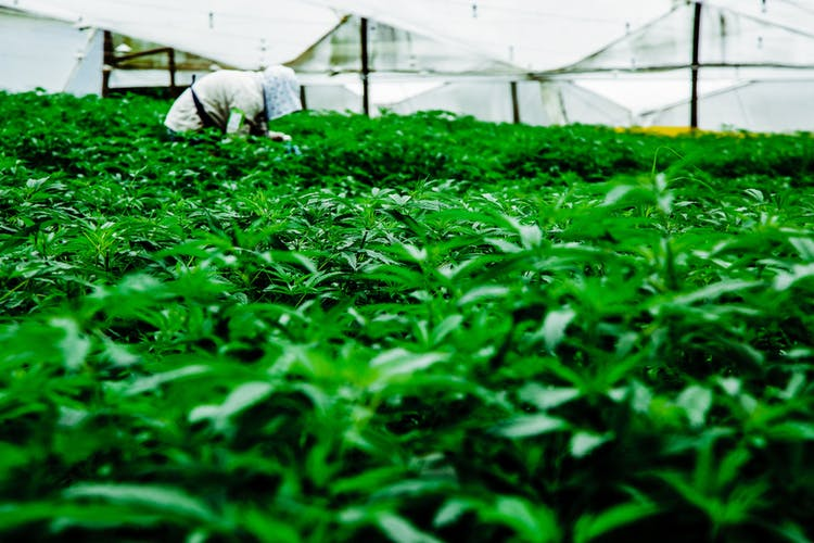 Pharmacielo-could-become-a-leader-in-the-global-medical-cannabis-market-14.jpg
