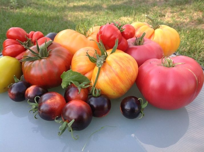 Courtesy of Tracy Weil  RiNo Art District Creative Director Tracy Weil grows heirloom tomatoes at Farm 39 in RiNo