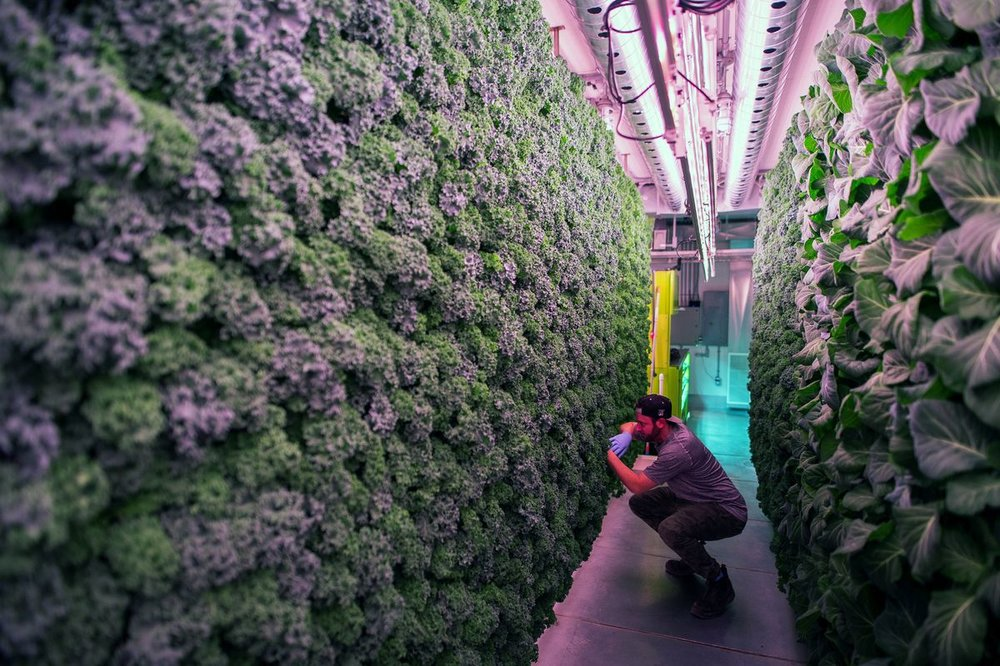 An employee inspects a wall of kale and greens growing vertically inside a modular farming unit at Modular Farms Co. headquarters in Brampton, Ont., on Aug. 11, 2017. JAMES MACDONALD / BLOOMBERG