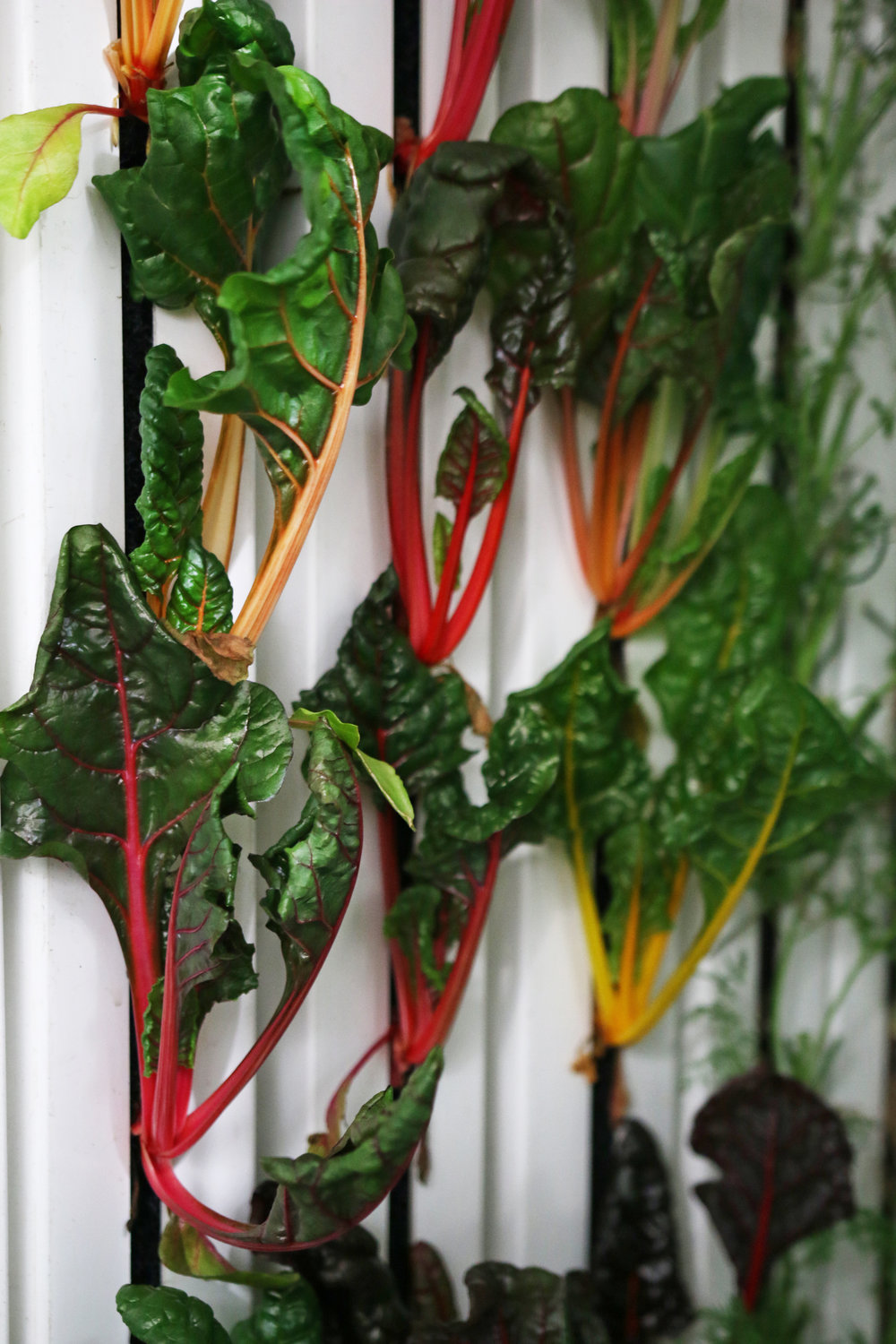 Freight_Farms_Swiss_Chard.jpg