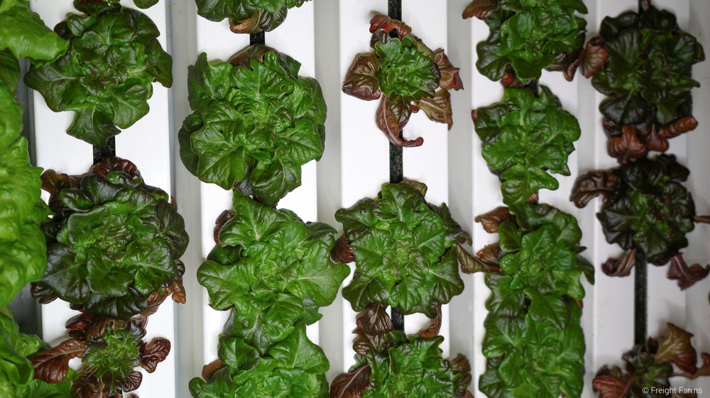 Freight Farms Mature Plants 1.jpg