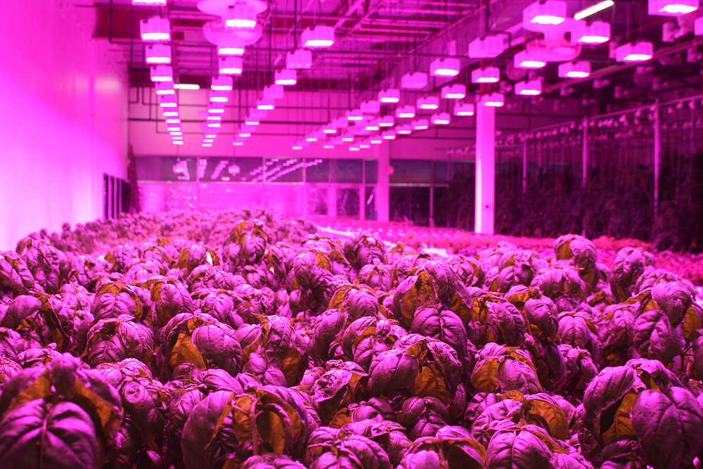 Basil growing in NFT systems under LED lights at Fresh Face Farm   Photo: Patrick Williams