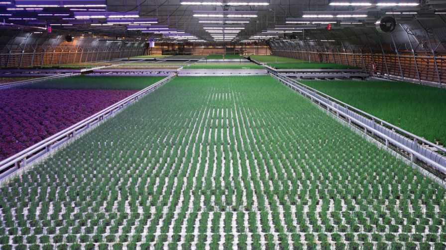 Hällnäs Handelsträdgård in Northern Sweden is using Fluence's VYPRx PLUS with PhysioSpec Greenhouse spectrum for full-cycle plant growth and development, along with Fluence's VYPRx PLUS with AnthoSpec as a finishing spectrum to increase anthocyanin accumulation in lettuce. This has resulted in a deep-red color and higher antioxidant properties, which were previously impossible to produce under HPS or sunlight. Photo courtesy of Osram