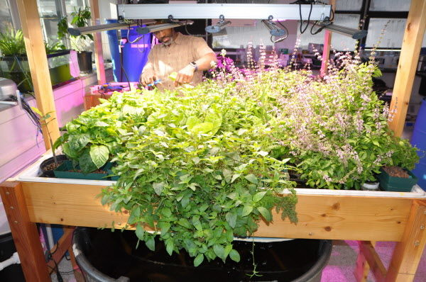 Courtesy of Theodore Willis  Associate research professor Theodore Willis growing aquaponics at the University of Southern Maine.