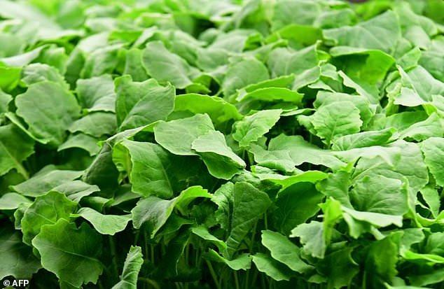 Baby kale is grown at AeroFarms