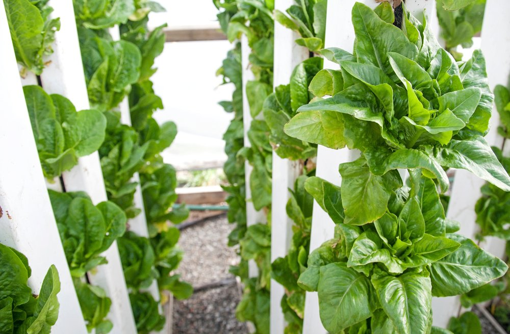 lettuce in zipgrow towers high res (1).jpg