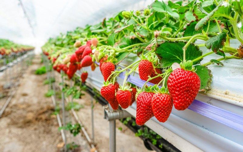 strawberries-afp-relax.jpg