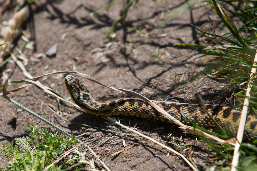 adder-snake-cuthberts-cave-northumberland-pictorial-photography-3619.jpg