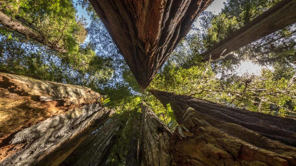 Look up: Creative view of the Redwood Forest in the US.