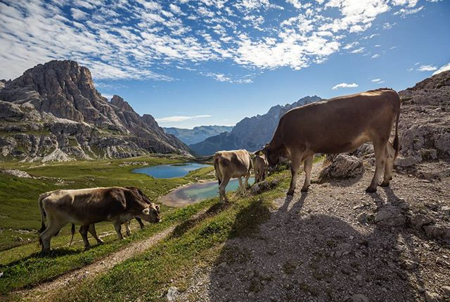 Cows! You can even find them at 2450m. Is there anything better than a view like this after breakfast?🌄📷🌎#threepeaks #dolomites #cow #pustertal  #dreizinnen #nature #dslr #travelphotographer #italy #natgeoyourshot #sun #dreizinnenhütte #fstoppers #viewbugfeature #naturelovers #photography #landscape #animal #landscape_captures #morning #sexten #landscapephoto #outdoor #dolomiten #cloudscape