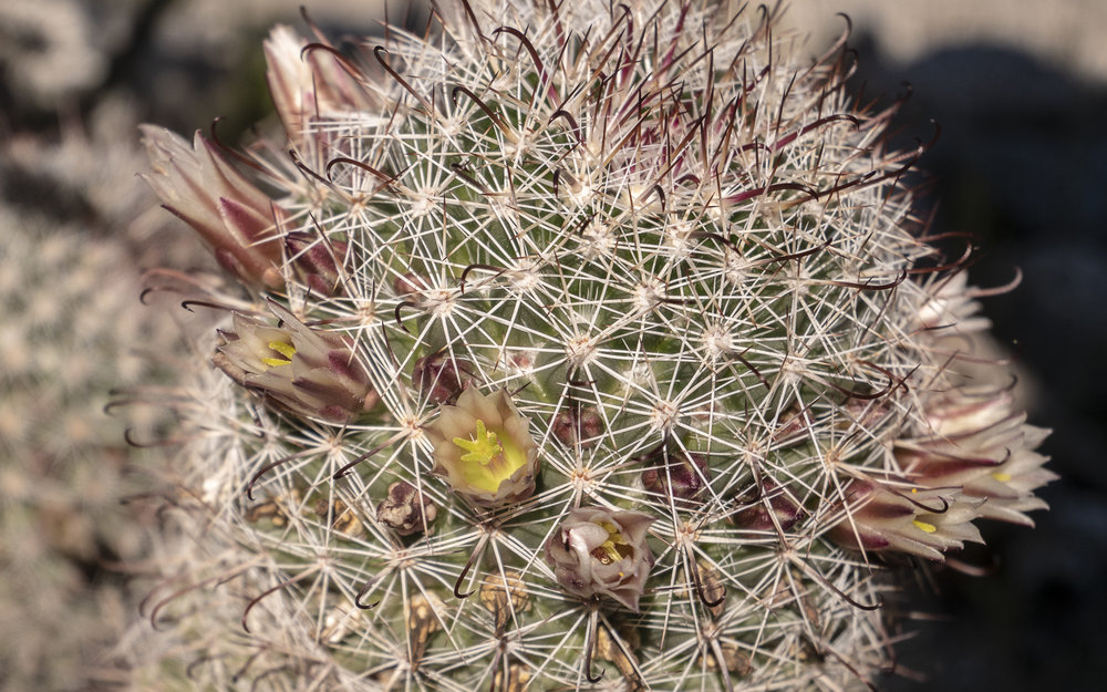 Flowers of the fishhook cactus ( Mammillaria dioica ) open wide in the morning and narrow later in the day to conserve resources in the heat of the day.