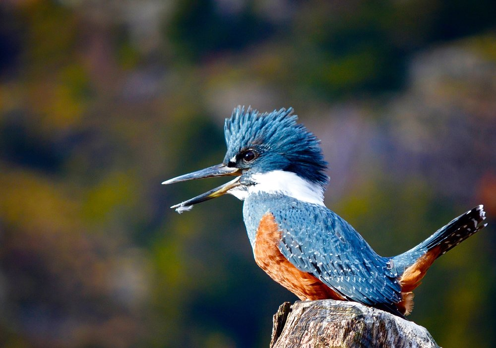 A Kingfisher Comes to Visit