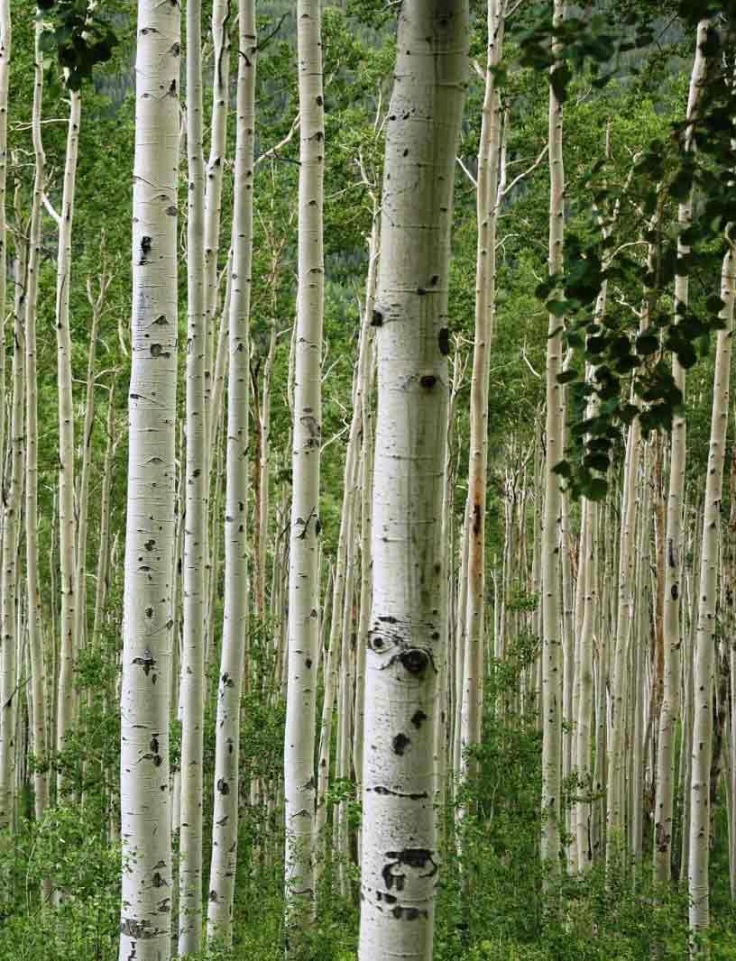aspen_trees_03.jpg