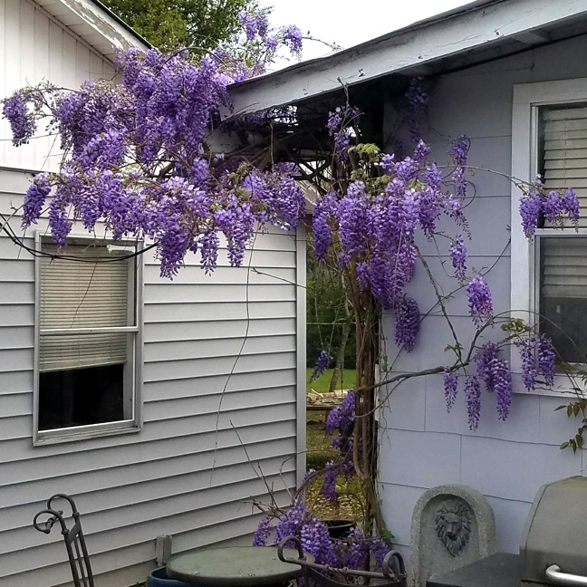 Wisteria on the back corner of the house
